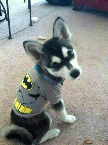 batman puppy liam and danielle s loki dressed up in a batman costume 8d loki and hatchi