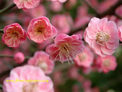 images flowers plum flower pictures
