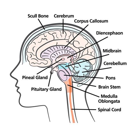 brain cross sections brain illustrations on behance