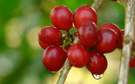 Bibit Kopi pembibitan pohon kopi bibit unggul kita