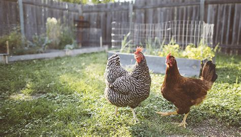 How To Raise Chickens In Your Own Backyard 10 Things To Know Chickens In The Backyard