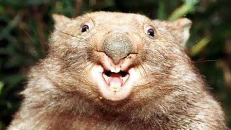 Wombat Stool by Happy Wombat