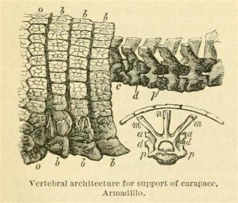 armadillo vertebrae  human vertebrae  biomedical ephemera   frog   boils