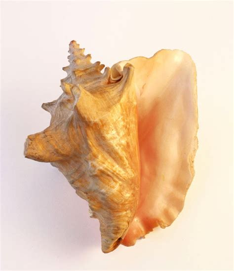 queen couch queen conch shell alfa enterprises pvt ltd welcome