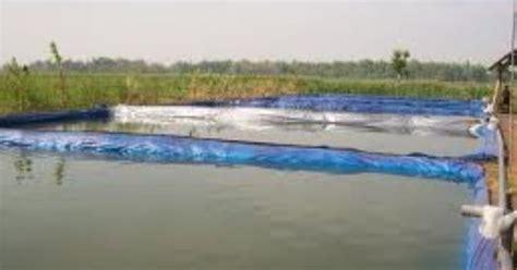 Bibit Gurame Ukuran Bungkus Rokok gurame purwakarta kolam besar dengan terpal