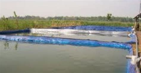 Bibit Ikan Gurame Di Bandar Lung gurame purwakarta kolam besar dengan terpal