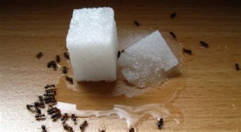 formiche in casa come eliminarle hai le formiche in casa ecco come eliminarle in modo