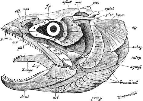 fish skull clipart