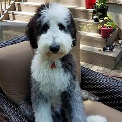 sheep doodle puppies for sale sheepadoodle puppies for sale in virginia by debs doodles
