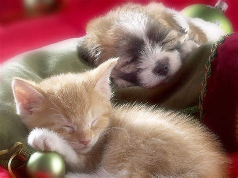 puppy and kitten puppies and kittens quotes quotesgram