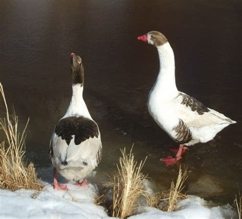 grey saddleback pomeranian geese 118 best images about domestic geese on snow goose country charm and cotton