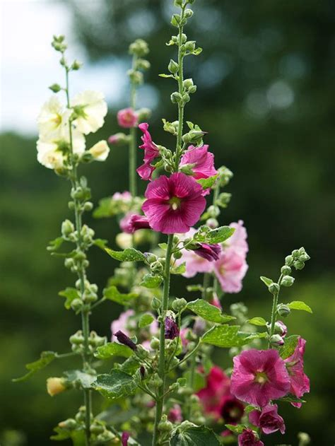 97 best images about perennials on pinterest gardens sun and spikes