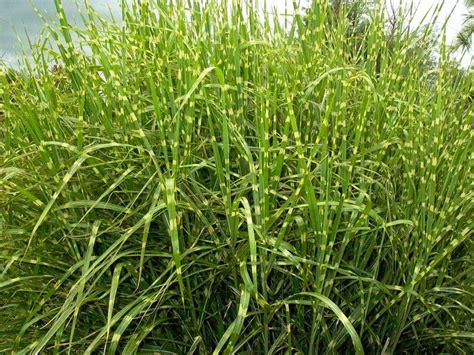 zebra grass ornamental grasses pinterest