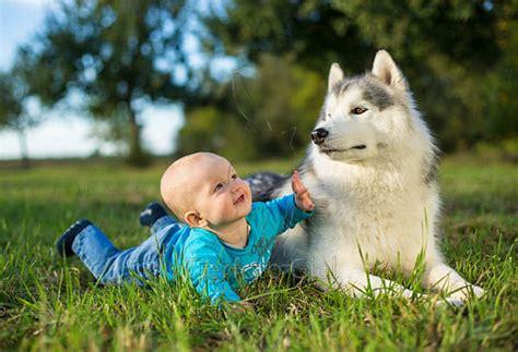 do dogs get jealous do dogs get jealous the study results siberian husky siberianhusky