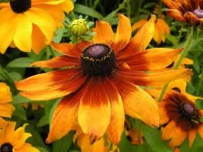 file rudbeckia hirta jpg wikimedia commons
