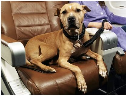 Attractive Dog Friendly Luxury Resorts #2: Dog-On-Plane1.png