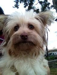 yorkie puppies seattle rescue on poodle havanese dogs and lhasa apso