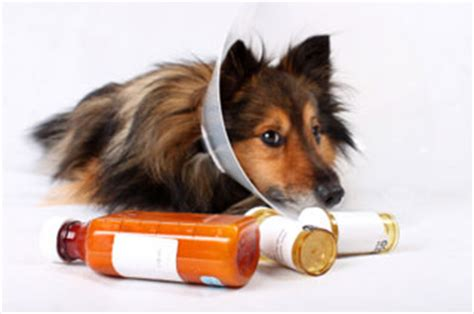 antibiotics for dogs antibiotic resistance and superbugs how safe is your pet