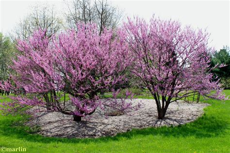 redbud tree eastern redbud cercis canadensis best trees for alabama pinterest eastern redbud