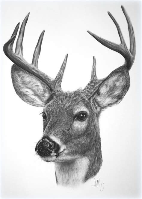 Deer Pencil Drawings