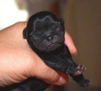 free black pug puppies 17 best ideas about black pug puppies on pug puppies pets and black pug