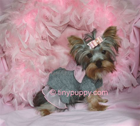 teacup yorkie hair pictures on a tea cup yorkie hair cut tea cup yorkie hair cuts yorkie haircuts and