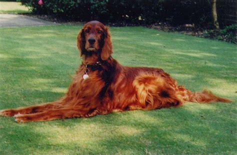 irish setter dog video irish setter dog breed 187 information pictures more