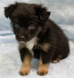 Mini aussie puppies for sale new jersey puppies for sale breeders