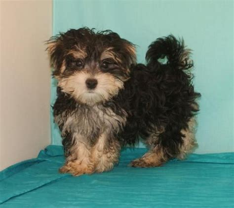 humane society yorkies 17 best images about dogs on chihuahuas pets and puppys