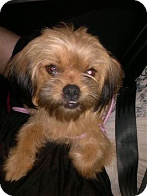 shih tzu rescue nm pet not found