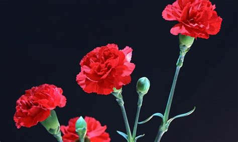 facts about carnations 6 fun facts about the january birth flower