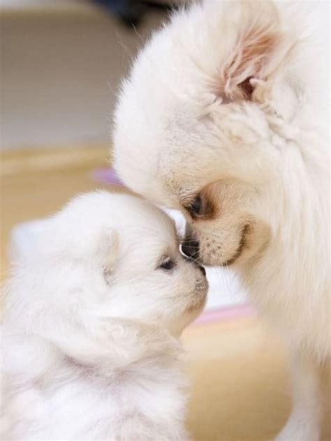 white pomeranian puppies 12 reasons why you should never own pomeranians