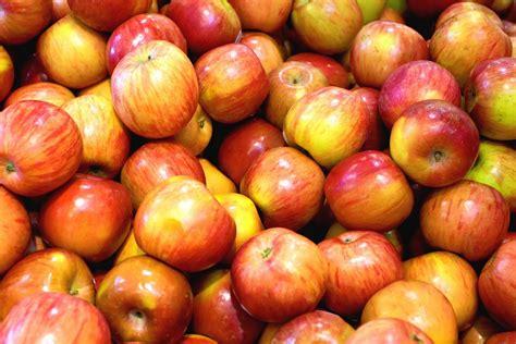 choix des vari 233 t 233 s de pommes 224 manger ou 224 cuire