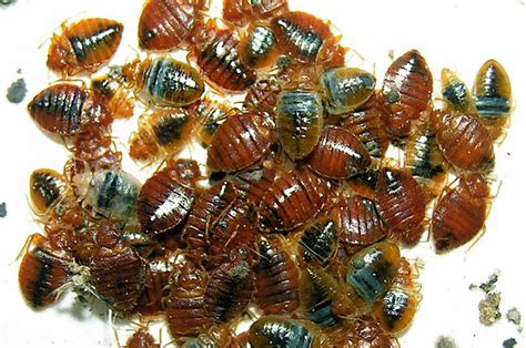 Bed Bugs Spray Canada