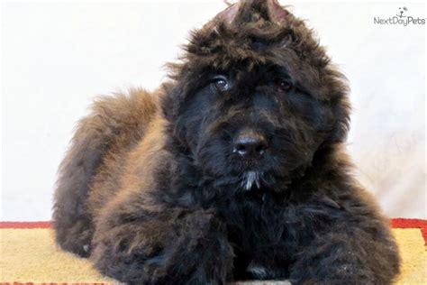 bouvier des flandres puppies for sale bouvier des flandres puppy for sale near southeast missouri missouri f4f2583d fcb1