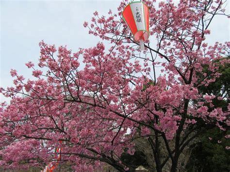 i fiori di ciliegio fiori di ciliegio significato e immagini idee green