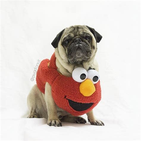 pug tops top 20 pugs of instagram 2015 the pug diary