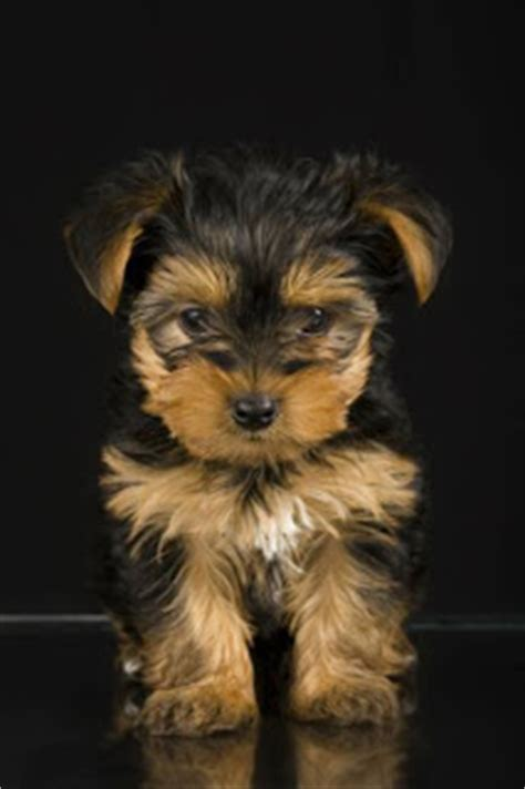 when do yorkies ears stand why do some yorkies floppy ears why don t a yorkie s ears stand up cuteness ear