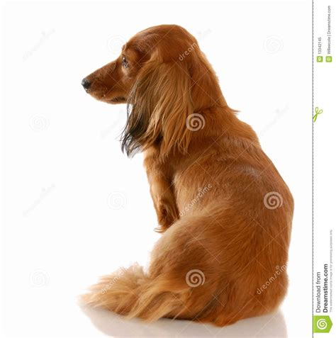 chdogs golden retriever puppies back view www imgkid the image kid has it