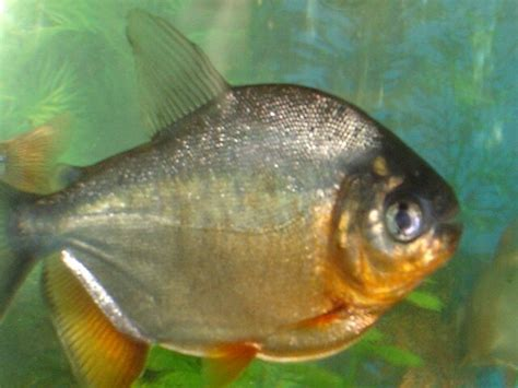 pacu piaractus brachypomus colorful tropical fish pictures