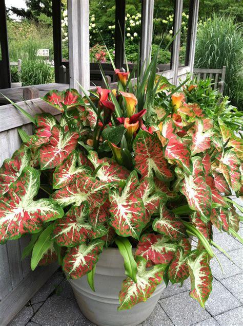 Dark Foliage Plants - 187 colorful caladiums nybg