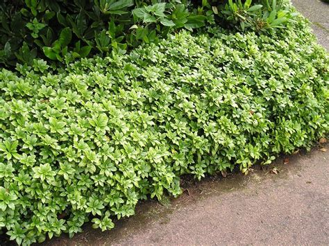 pachysandra growing zone information on pachysandra plant