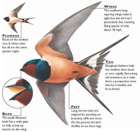 barn swallow birds