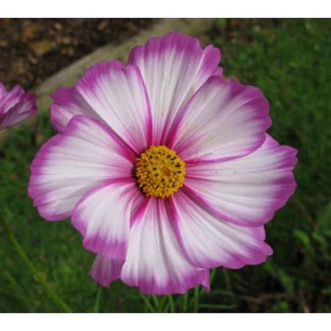 Biji Benih Bunga Cosmos Casanova bibit bunga cosmos stripe