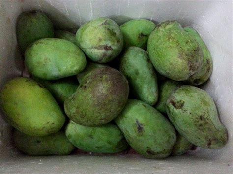 mangga gadung organik manis murah buah mangga harum manis yang hanya bermusim setahun sekali