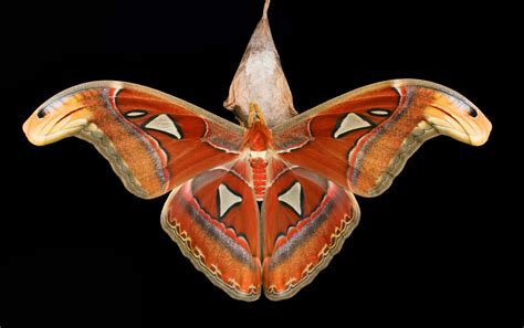 Atlas Search Atlas Moth Images Search