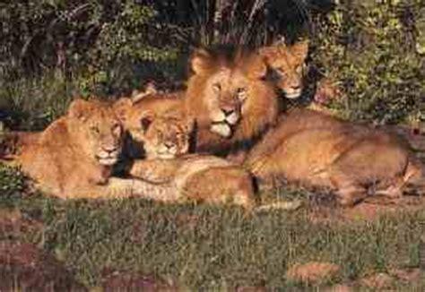imagenes de leones fuertes leones fuertes felinos taringa