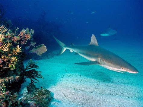 imagenes para fondo de pantalla de tiburones tiburon en arrecife para fondo de pantalla