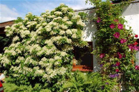 kletterpflanze schattig winterhart kletterpflanzen winterhart immergr 252 n kletterpflanzen
