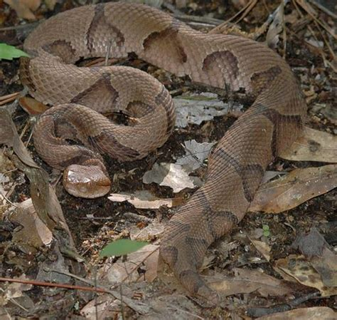 Why Snakes Shed by 100 Shed Snake Skin Crafts Best 25 Snake Skin Ideas On Snake Scales Snake Why